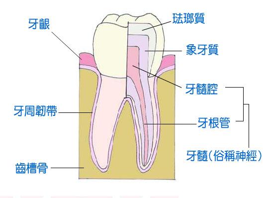 牙齿侧面结构图